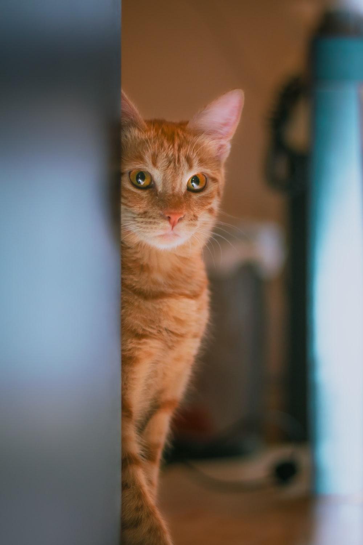 orange tabby cat in blue room