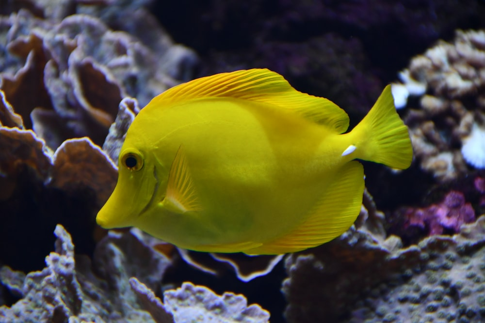 yellow fish in fish tank