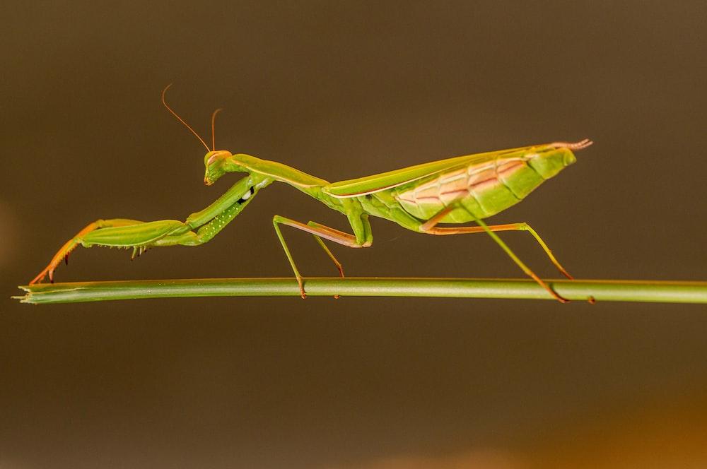 green praying mantis on white surface