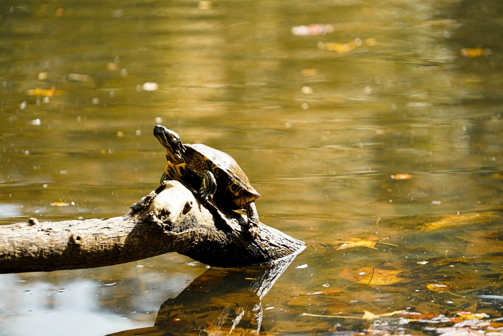 black and white turtle on brown wooden log on water
