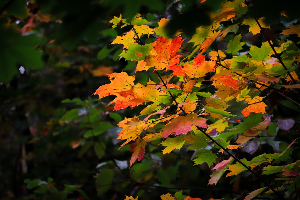 orange and green maple leaves
