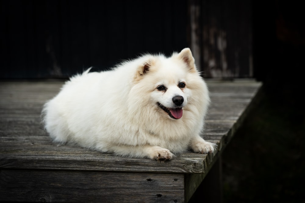 white long coat small dog on brown wooden bridge