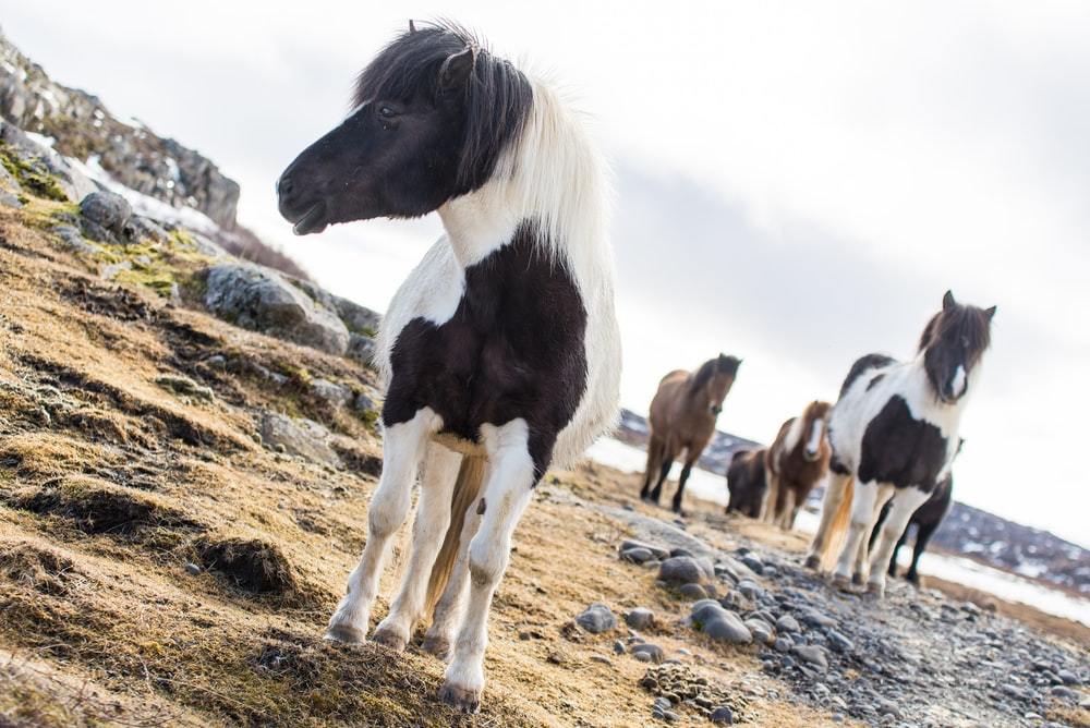 black and white horses on brown field during daytime