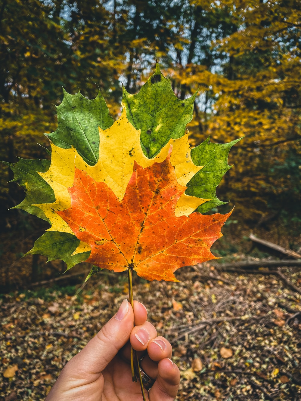 person holding green maple leaf