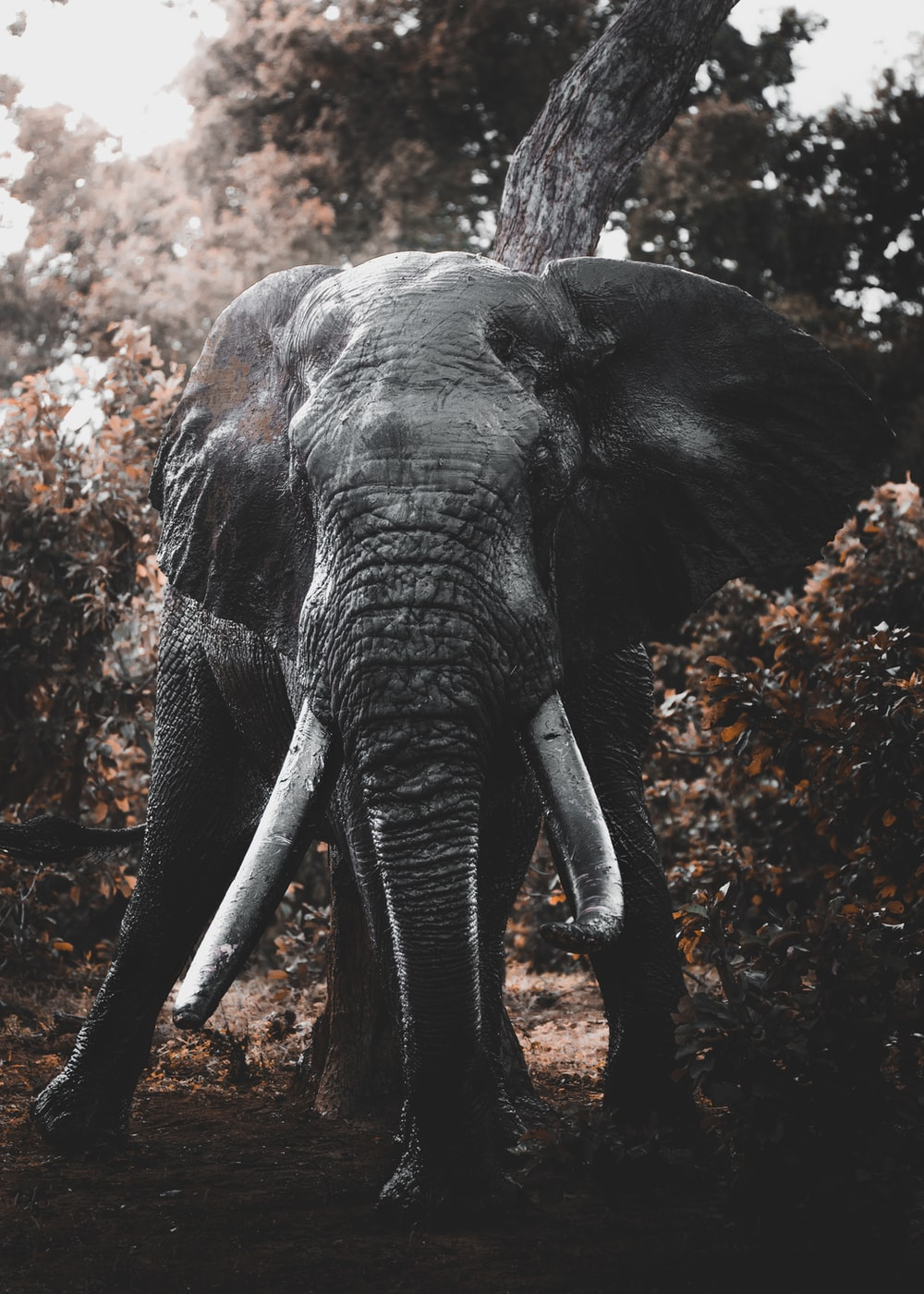 grey elephant walking on brown ground during daytime