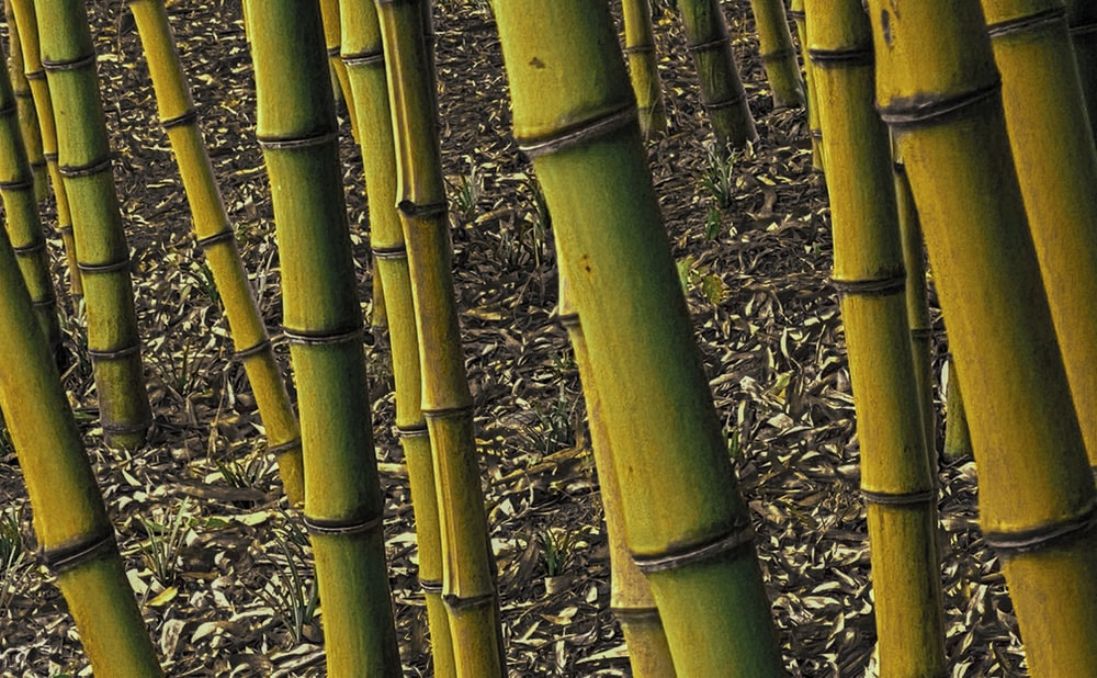 green bamboo tree on brown grass