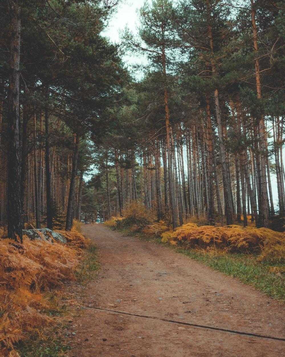 brown dirt road in between trees during daytime