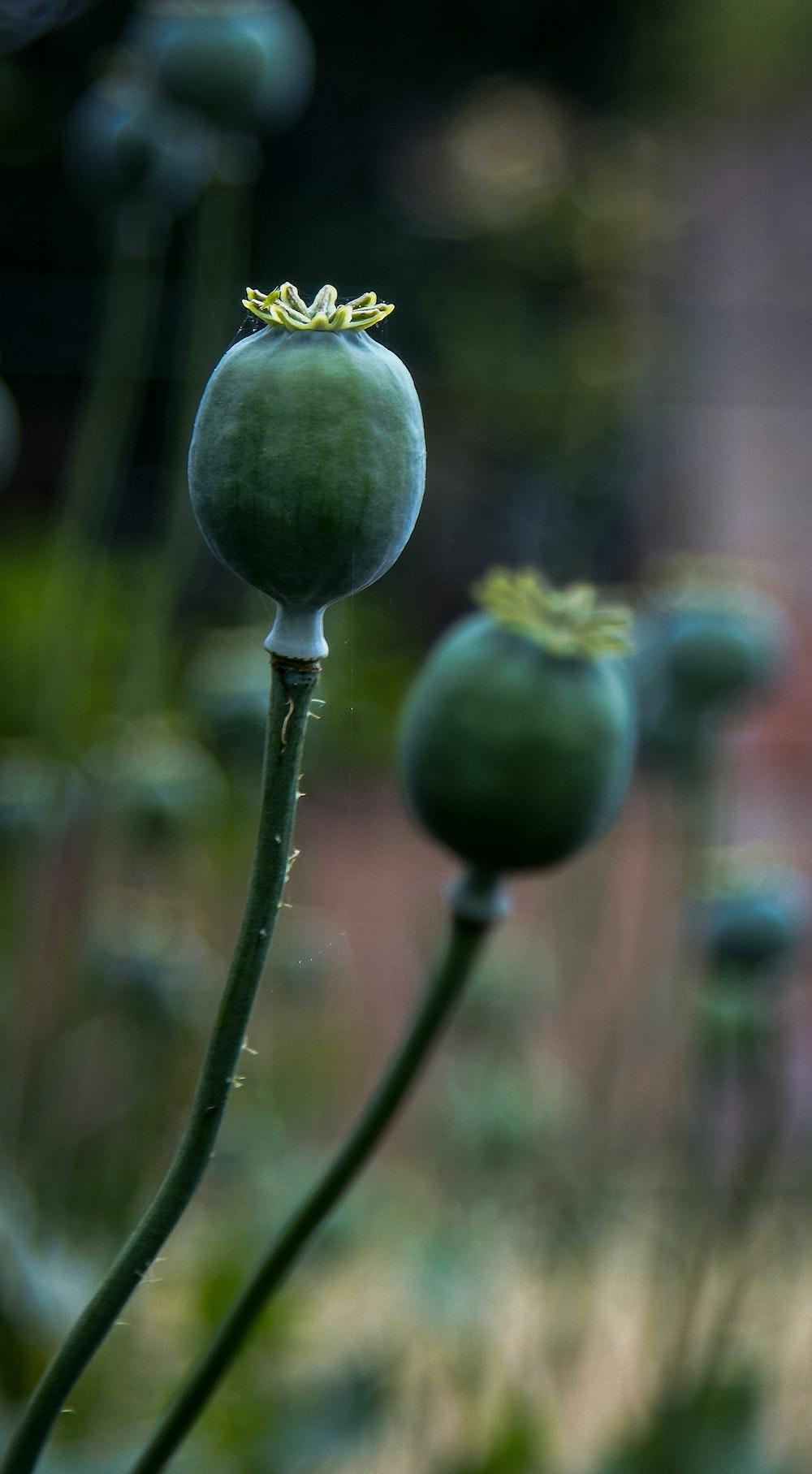 green fruit in tilt shift lens