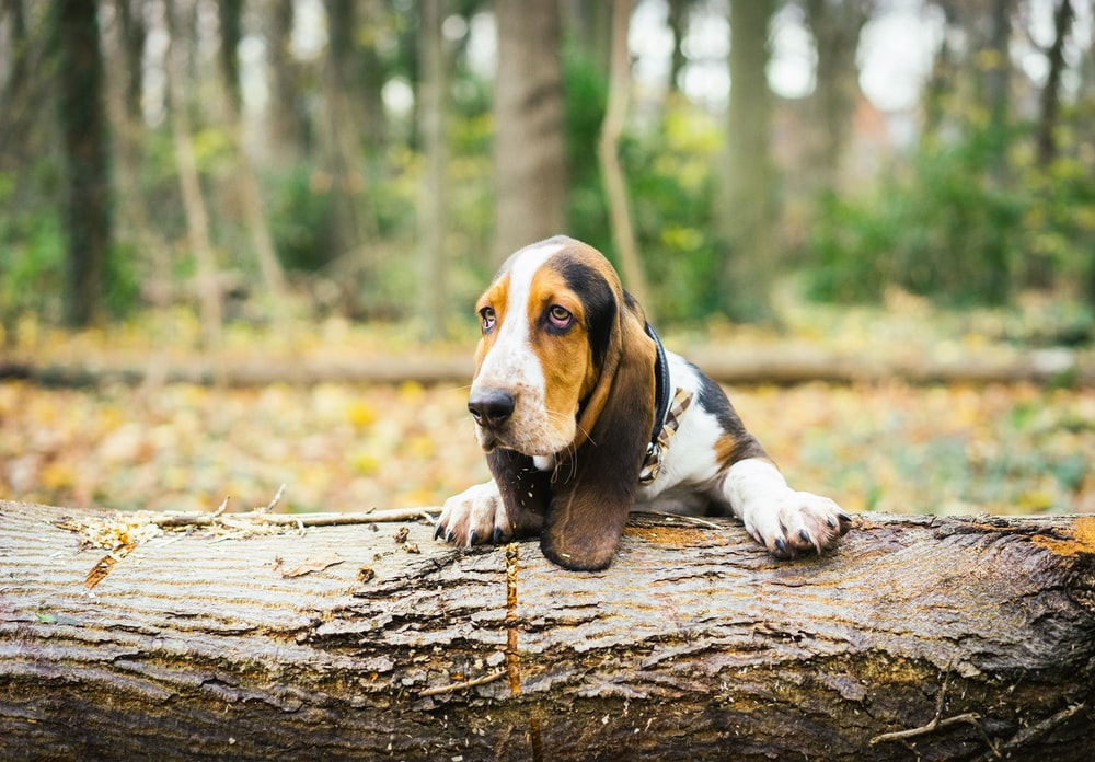 tricolor beagle on brown tree log during daytime