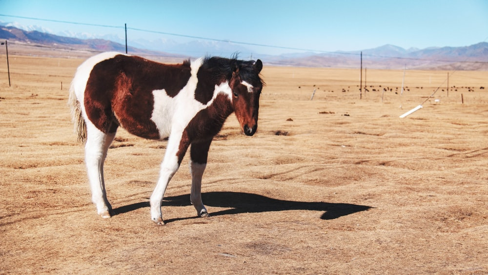brown and white horse on brown field during daytime