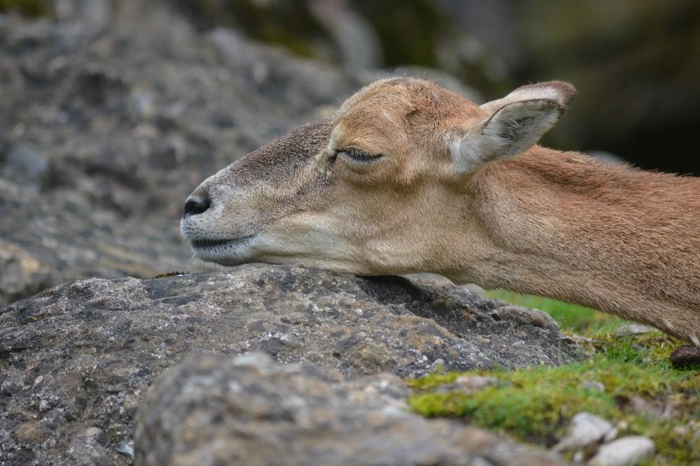 brown deer lying on gray rock during daytime