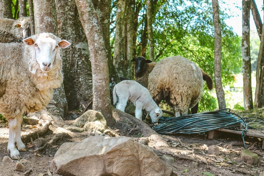 white sheep on black and white striped hammock
