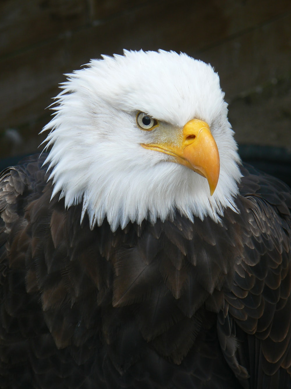black and white eagle in close up photography