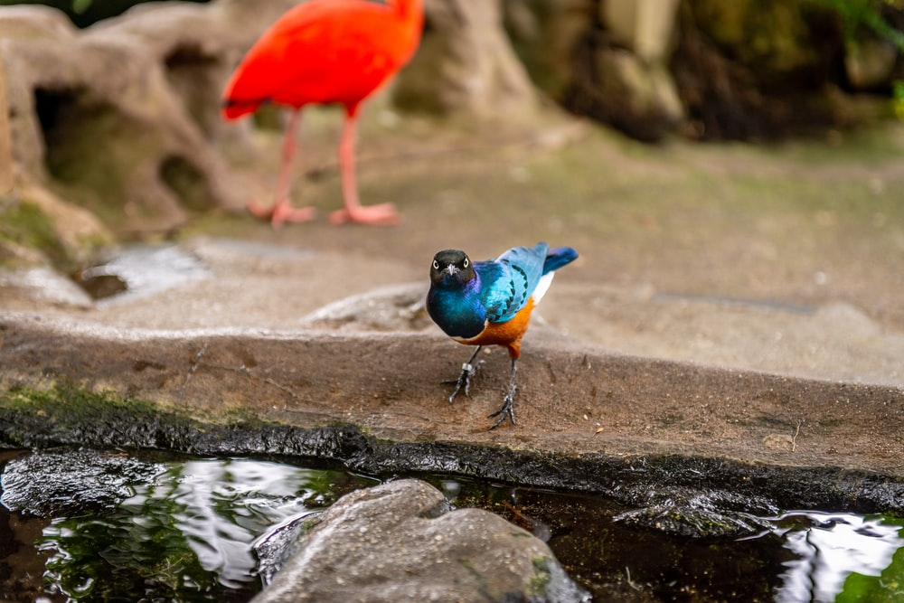 red and blue bird on rock