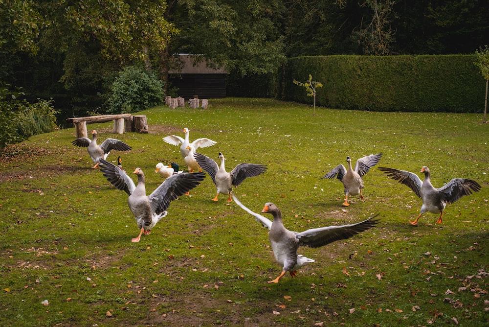 flock of white birds on green grass during daytime