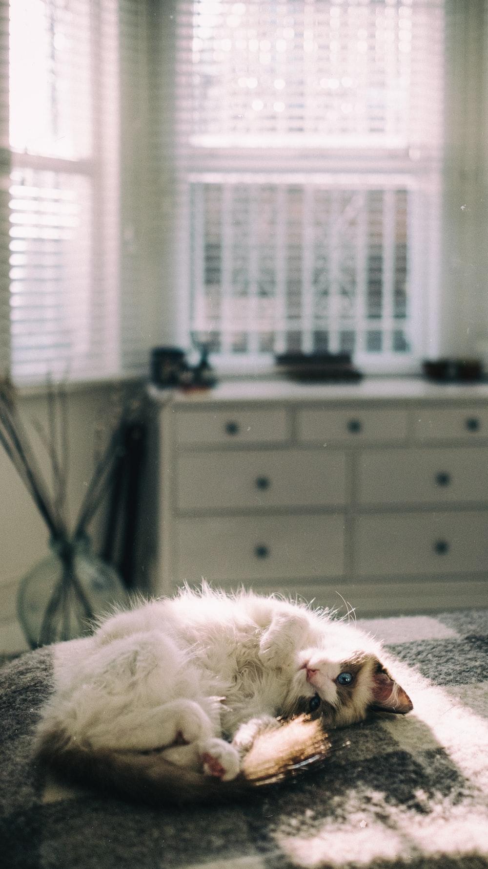 white long fur cat lying on bed
