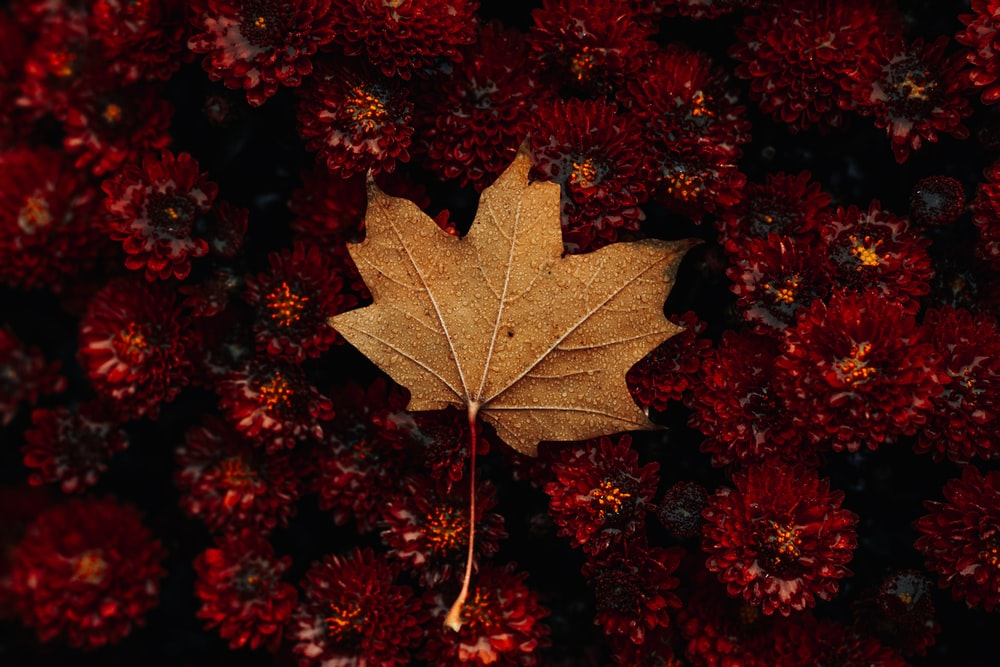 green maple leaf on red flowers