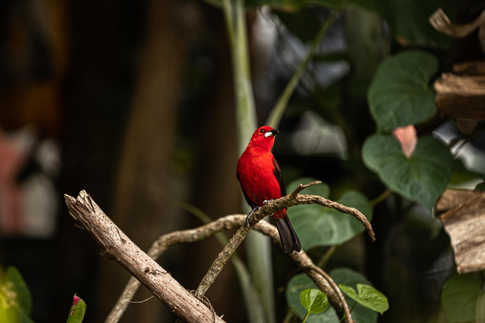 red cardinal perched on brown tree branch