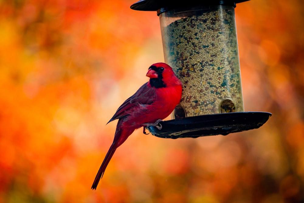 red and black bird on black metal bird feeder