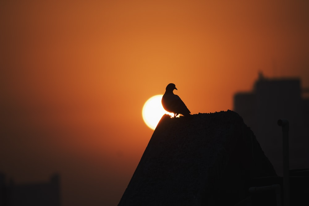silhouette of bird on rock during sunset