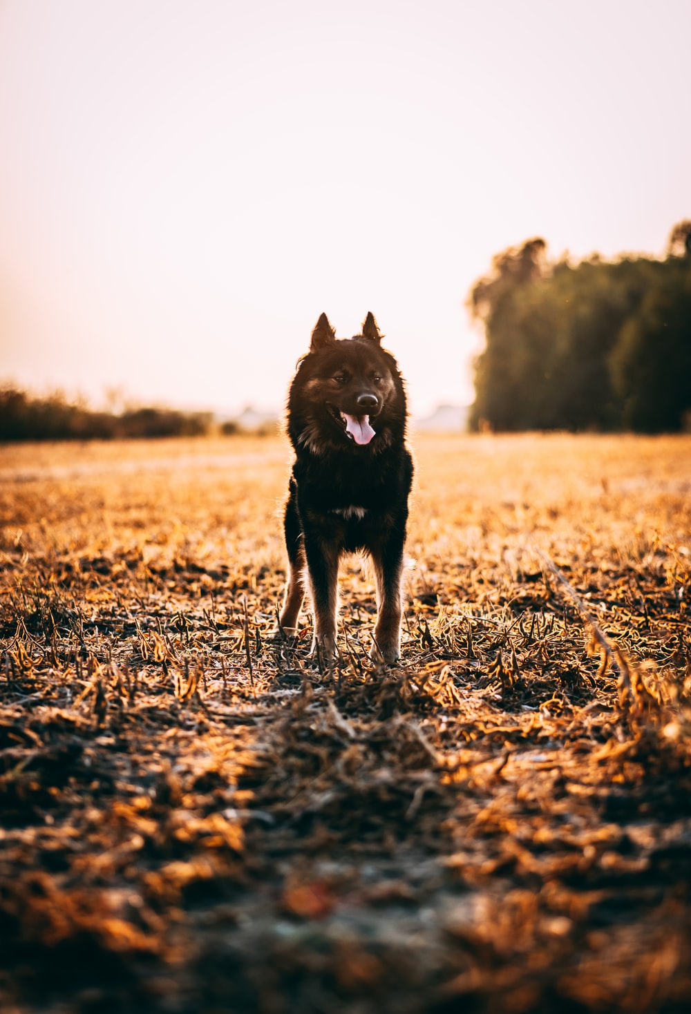 black short coat medium dog on brown grass field during daytime