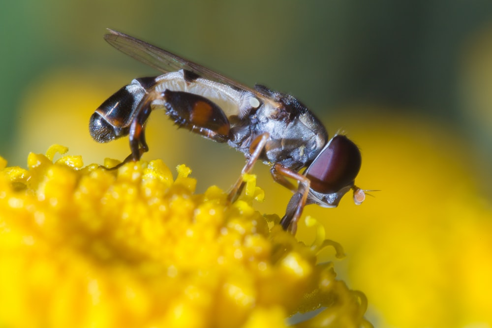 brown and black fly on yellow flower
