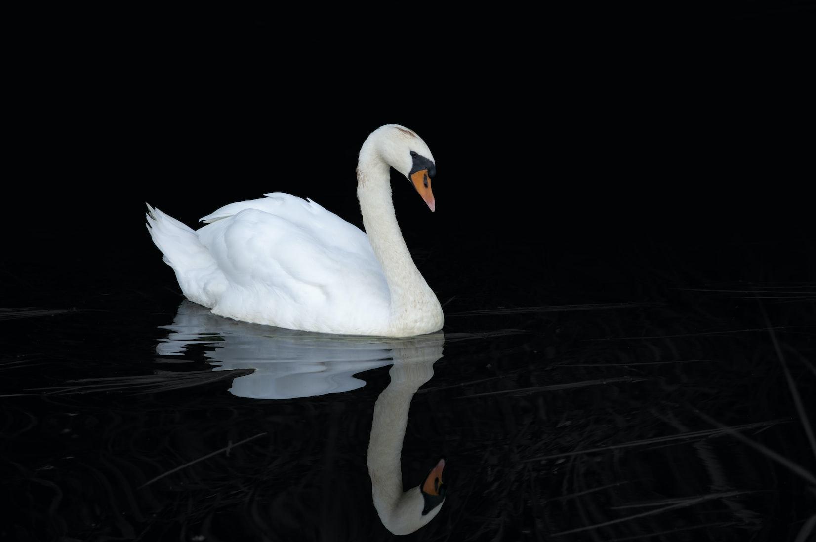 Swan Song: New York's Wildlife Bureaucrats Intend to Eradicate Wild Swans