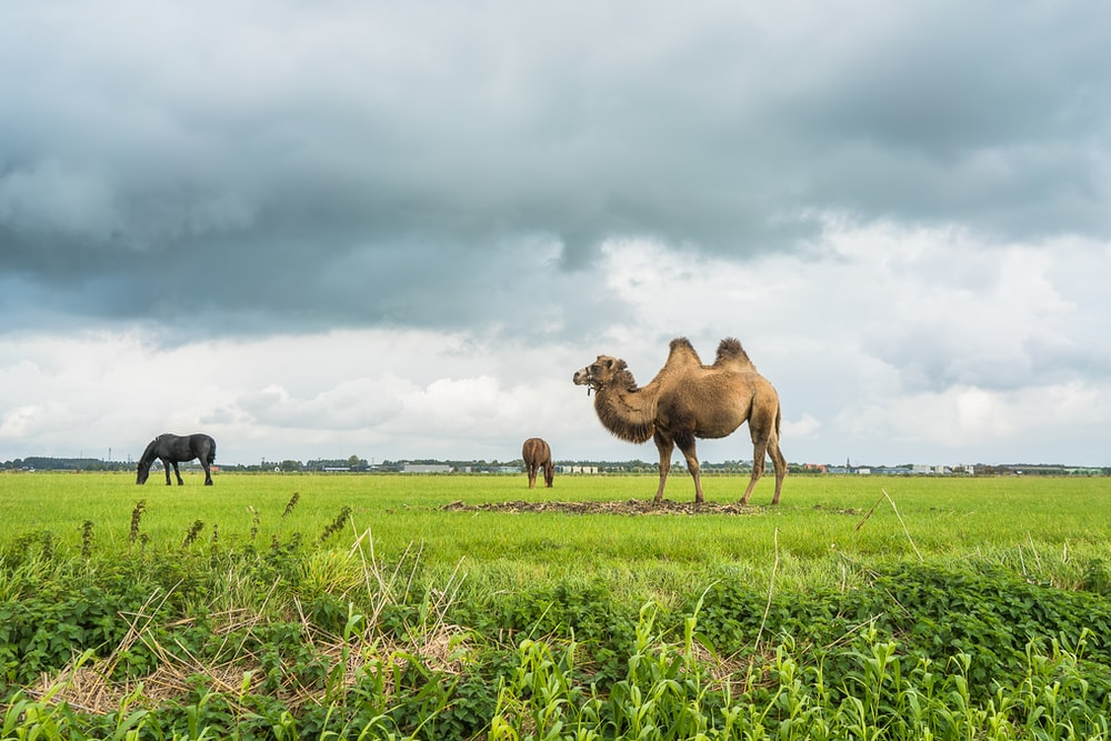 camels on green grass field under cloudy sky during daytime