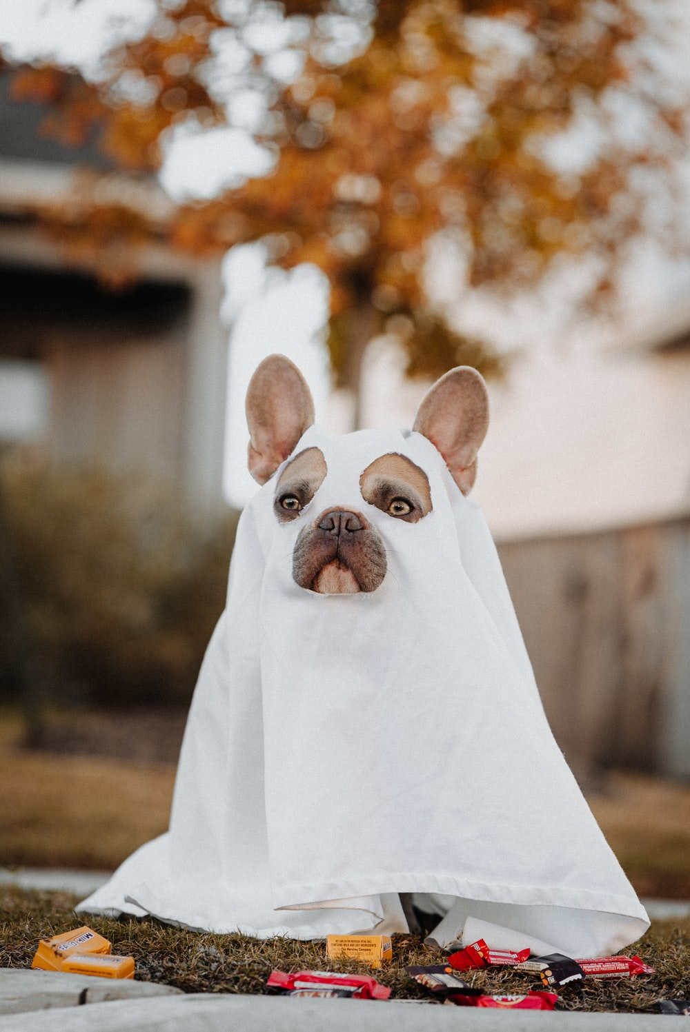 white french bulldog puppy covered with white textile