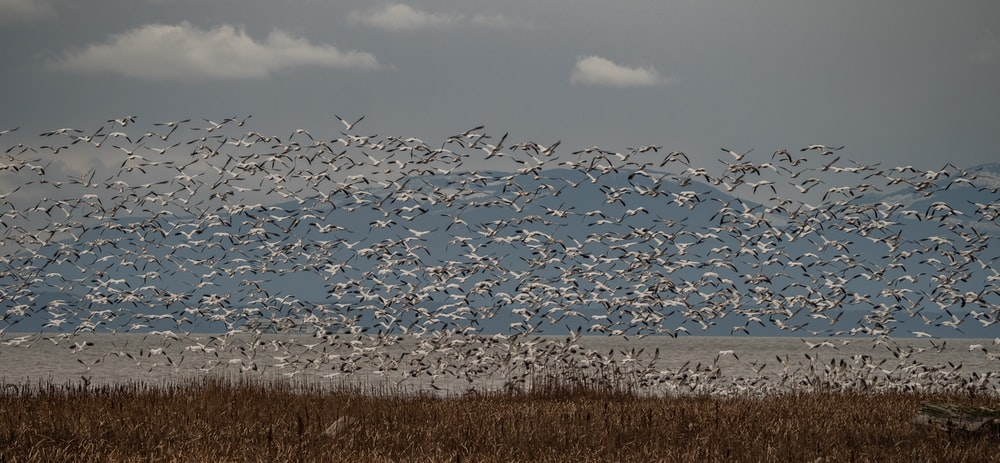 flock of birds flying over brown grass field during daytime