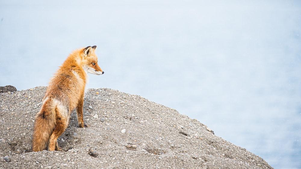 brown fox on gray rock