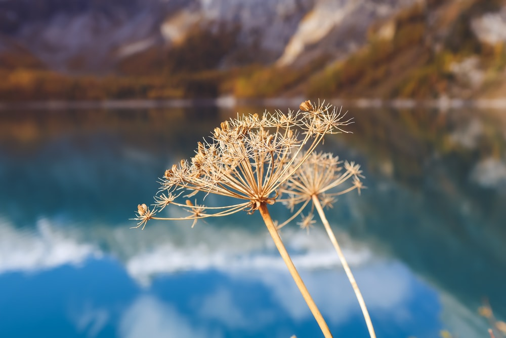 white dandelion in front of lake