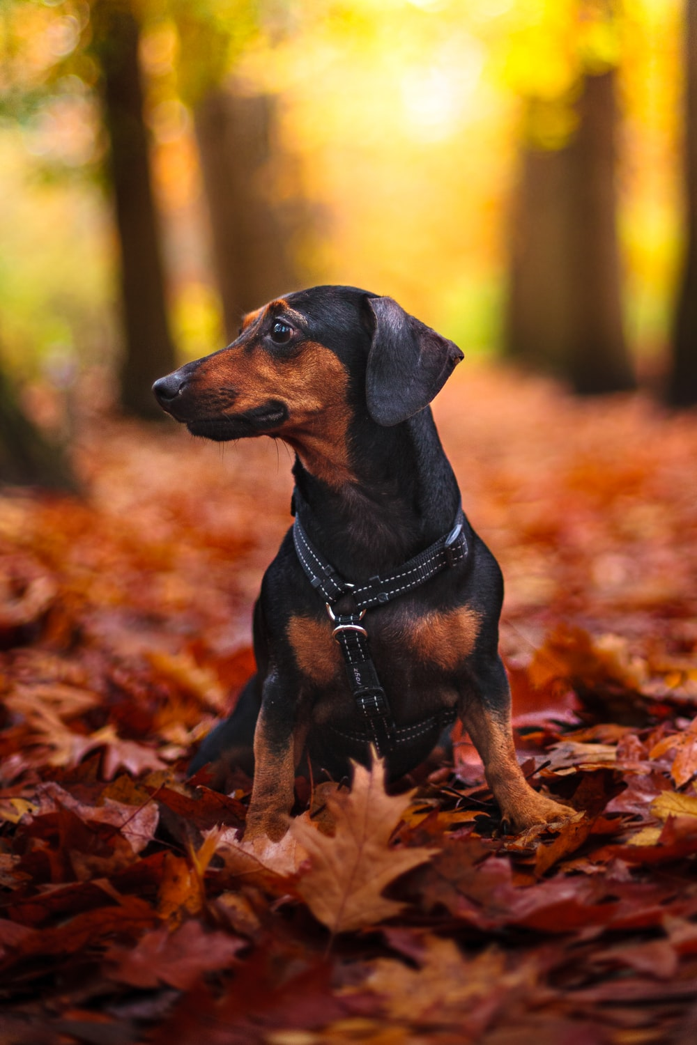black and tan short coat small dog on brown dried leaves