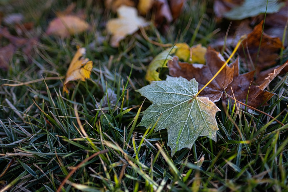 green maple leaf on green grass