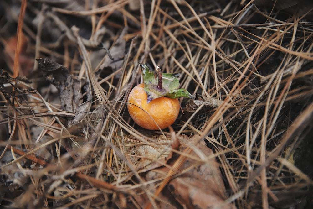 orange tomato on brown dried grass