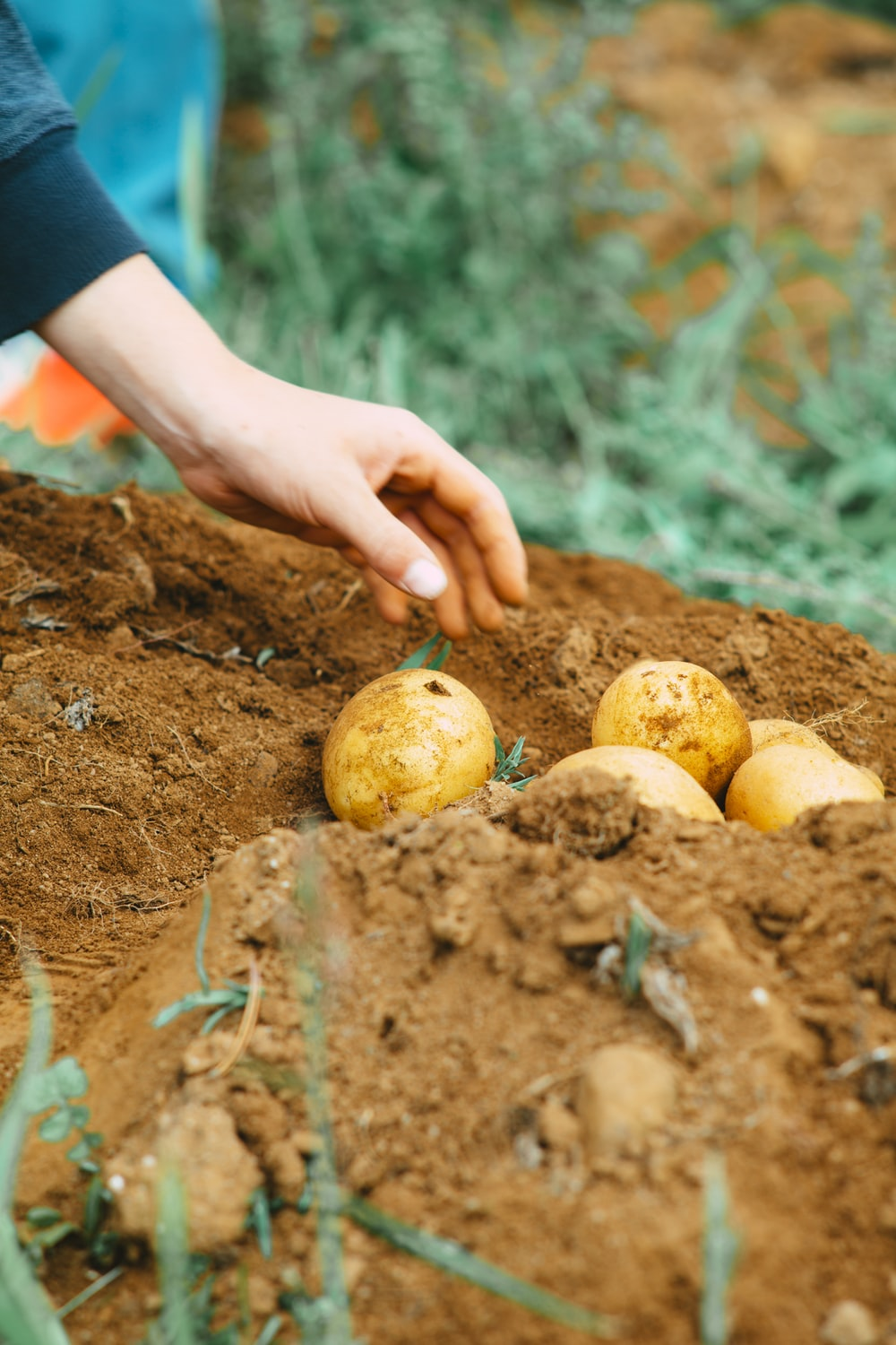 person holding two yellow round fruits