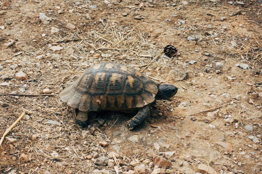 brown and black turtle on brown dried leaves