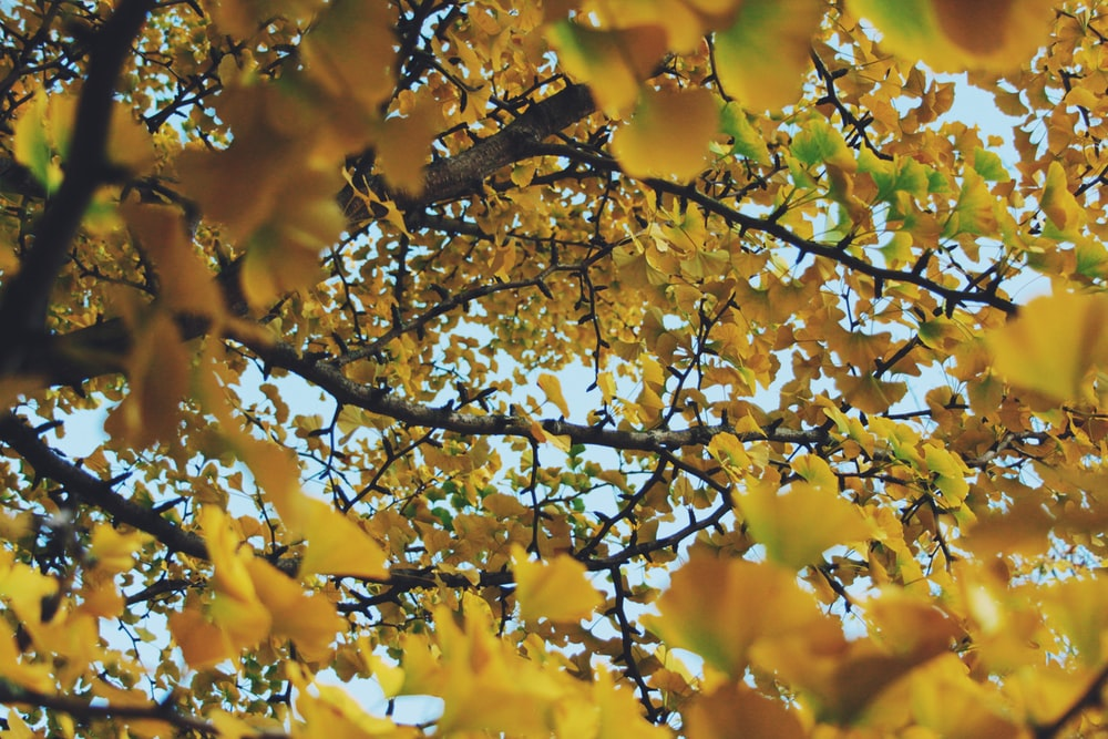 yellow leaves on brown tree
