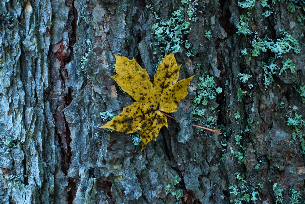 yellow maple leaf on gray tree trunk