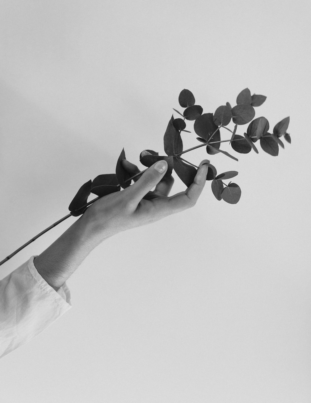 person holding black and white flower petals