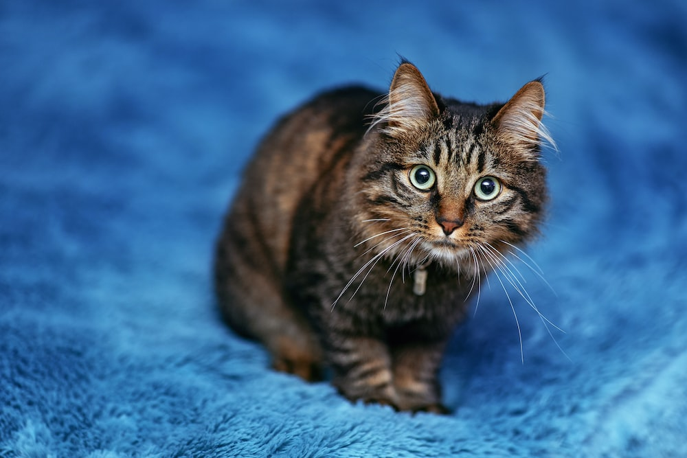 brown tabby cat on blue textile