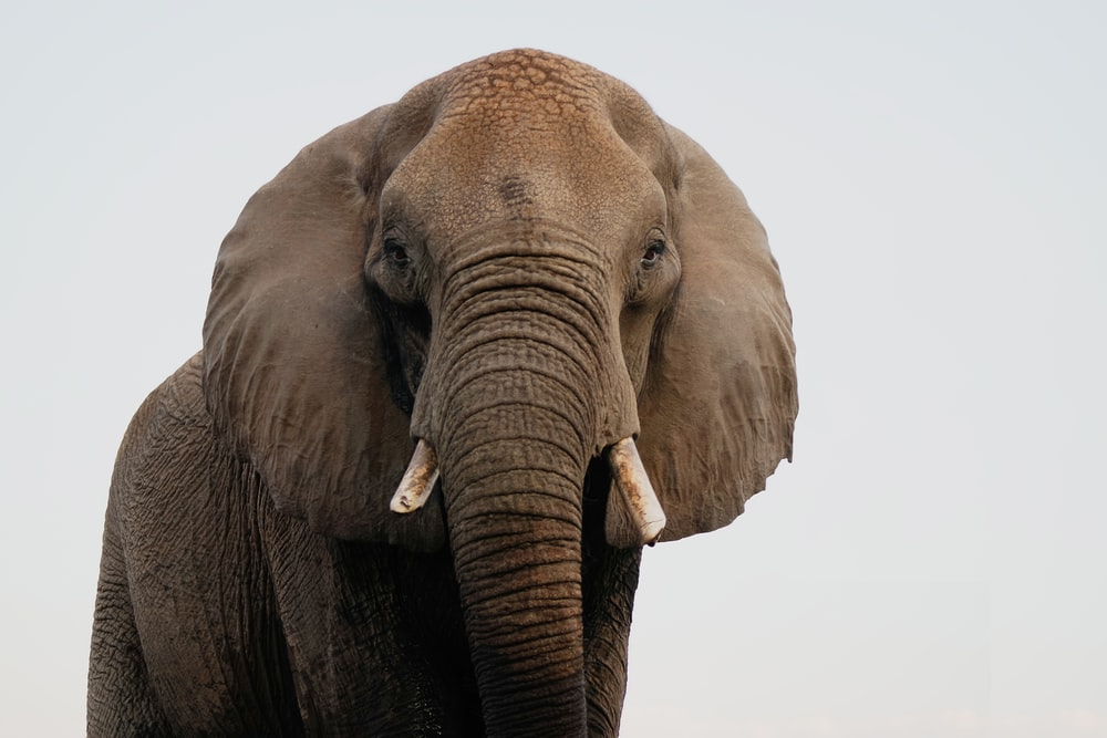 brown elephant in close up photography