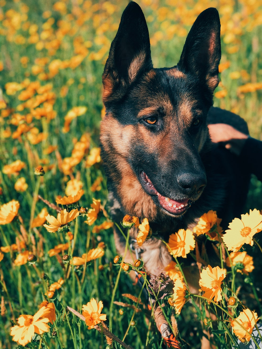 black and tan german shepherd puppy on yellow flower field during daytime