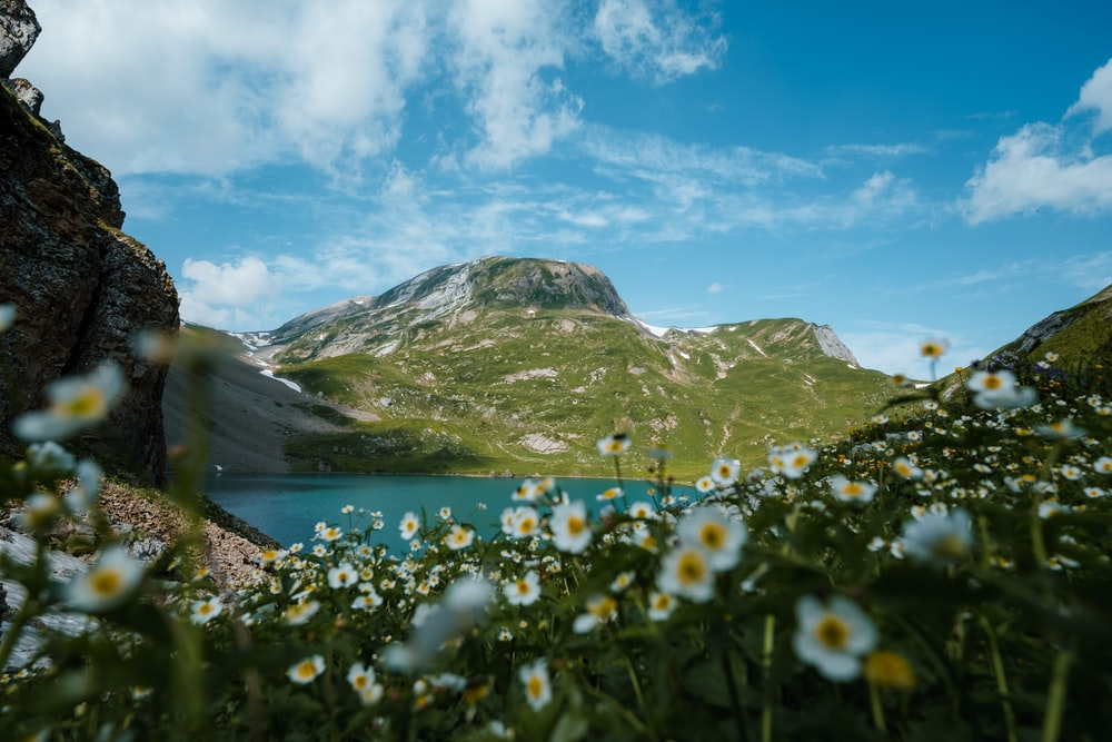white flowers on green grass field near lake and mountains under blue sky and white clouds