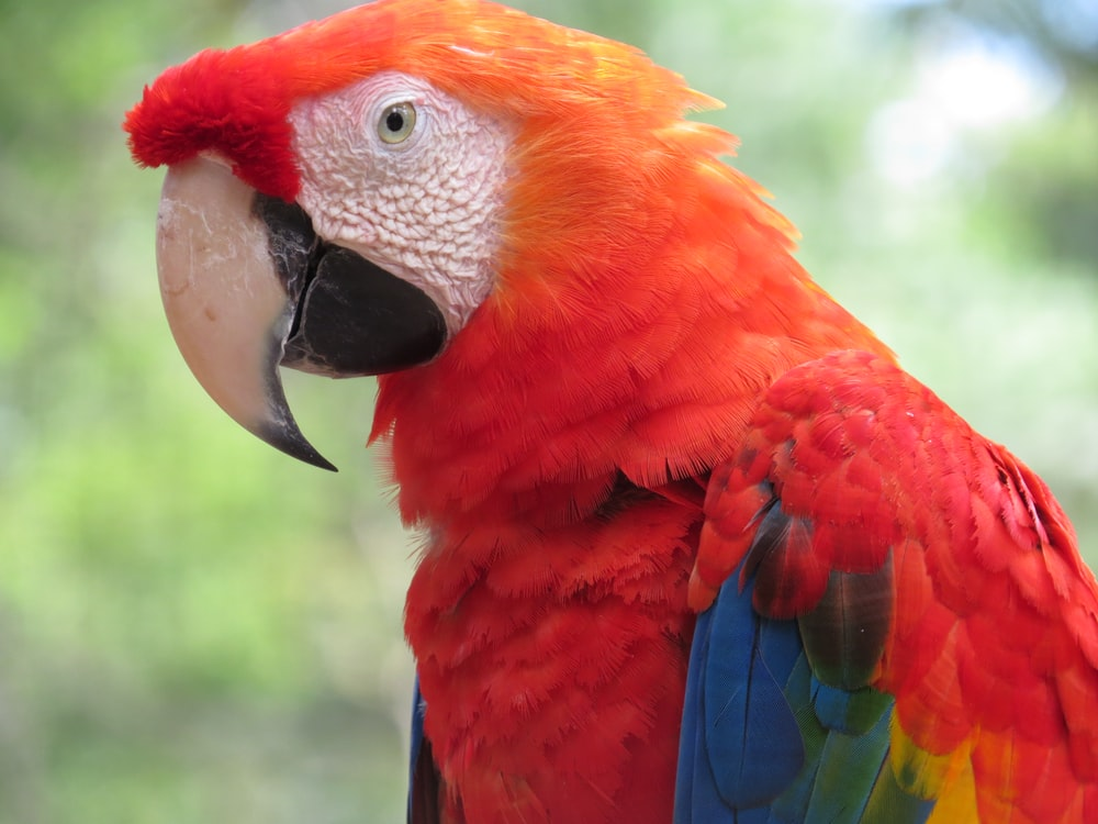 red blue and green parrot