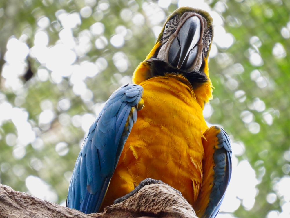 yellow blue and orange parrot