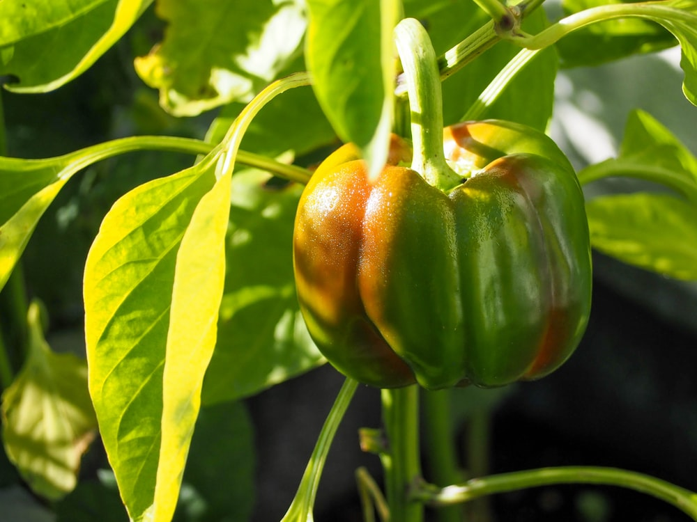 green and red bell pepper