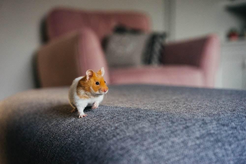 white and brown hamster on gray textile