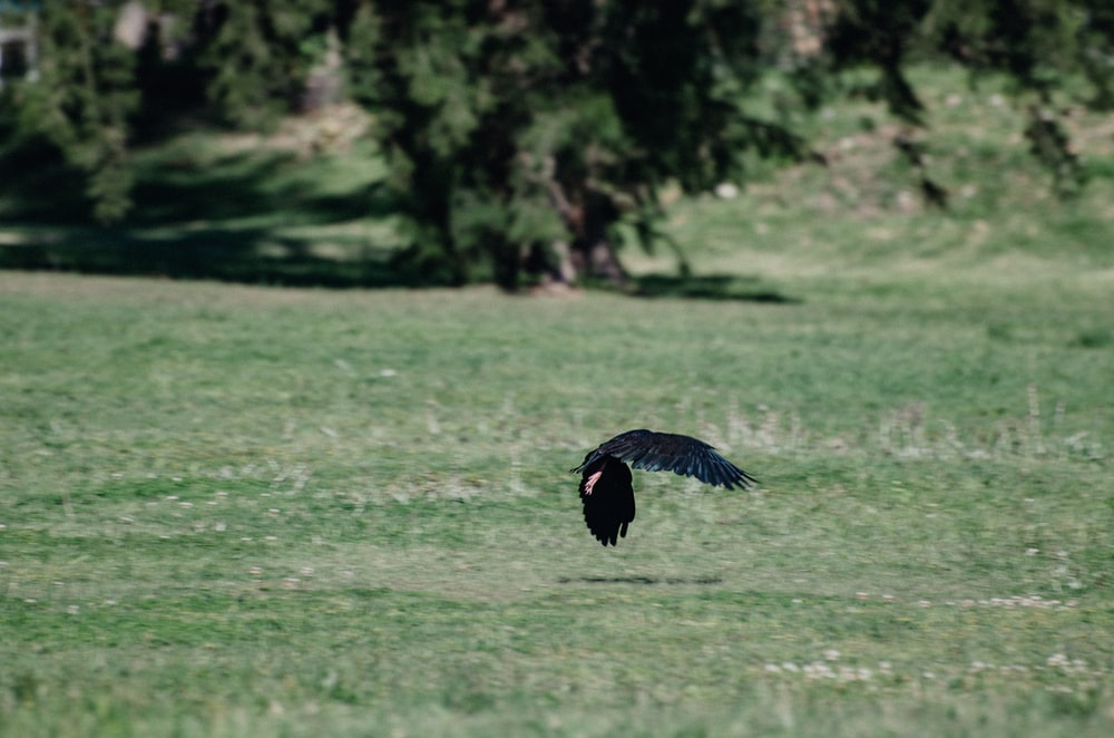 black bird flying over green grass field during daytime