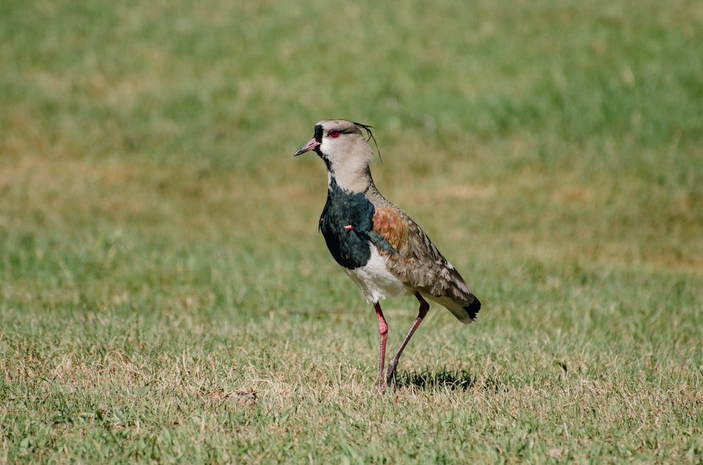 blue and brown bird on green grass field during daytime
